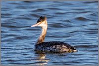 Great Crested Grebe (Podiceps cristatus), Bittell, December 2015