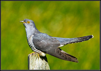 Cuckoo, Worcestershire, 24 May 2011