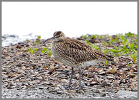 Whimbrel, Upton Warren Flashes, 06 May 2010