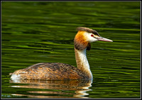 Great Crested Grebe (Podiceps cristatus), Worcestershire, 25 July 2012