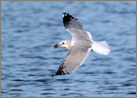Common Gull (Larus canus), Marsh Lane NR,  October 2015