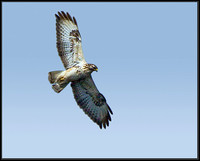 Common Buzzard (Buteo buteo), Forest of Dean, 03 April 2013