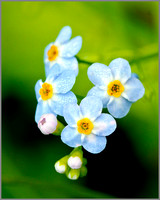 Field Forget-me-not, Knapp & Papermill, July 2014