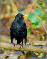 Male Blackbird (Turdus merula), Warwickshire, December 2013
