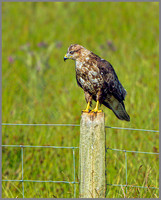 Common Buzzard (Buteo buteo), Wales, July 2013