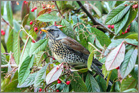 Fieldfare (Turdus pilaris), Garden, January 2015