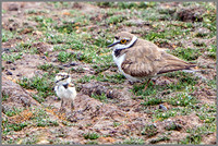 Female Little Ringed Plover and Chick (Charadrius dubius), Upton Warren NR, July 2015