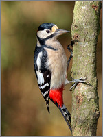 Male Great Spotted Woodpecker (Dendrocopos major), Warwickshire, 03 November 2014