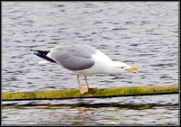 Yellow-legged Gull, Upton Warren Moors, 08 March 2012