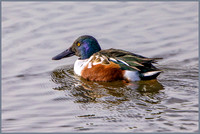 Drake Northern Shoveler (Anas clypeata), Upton Warren, November 2016