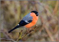 Male Bullfinch (Pyrrhula pyrrhula), Upton Warren NR, February 2016