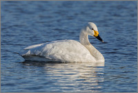 Bewick's Swan (Cygnus columbianus), Slimbridge WWT, November 2016