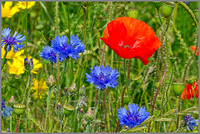 Blue Cornflowers and Poppies, Worcestershire, July 2014