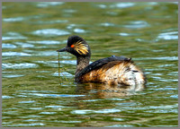 Black-necked Grebe, Bittell, 15 May 2011