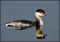 Slavonian Grebe, Grimley, 11 March 2010
