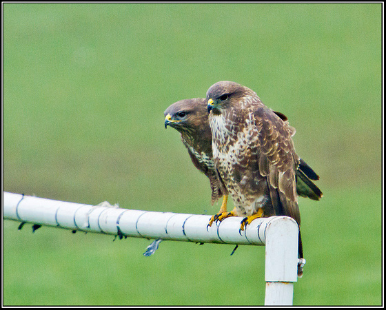 Buzzard, Bromsgrove, 12 March 2012287