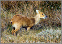 Chinese Water Deer, Norfolk, April 2012