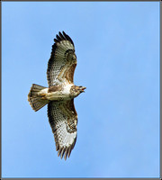 Common Buzzard (Buteo buteo)), Bromsgrove, November 2012