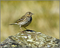 Meadow Pipit (Anthus pratensis), Shropshire, April 2014