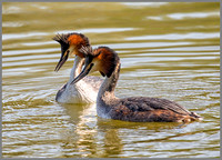 Great Crested Grebes - Podiceps cristatus, Worcestershire, April 2017