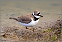Little Ringed Plover - Charadrius dubius , Upton Warren NR, March 2017