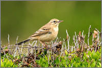 Tawny Pipit - Anthus campestris, Mallorca, May 2017