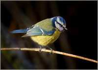 European Blue Tit - Cyanistes caeruleus, Slimbridge WWT, January 2017