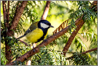 Great Tit - Parus major, Croome Park, April 2017