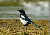 Magpie (Pica pica), Marsh Lane NR, November 2013