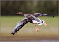 Greylag Goose (Anser anser), Slimbridge, March 2016