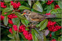 Redwing (Turdus iliacus), Garden, January 2017