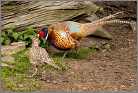 Pheasants - Phasianus colchicus, Warwickshire, March 2017