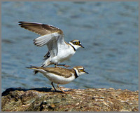 Little Ringed Plovers (Charadrius dubius), Upton Warren, 07 May 2013