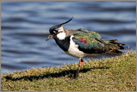 Northern Lapwing - Vanellus vanellus, Upton Warren NR, March 2017