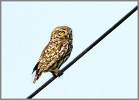 Little Owl, Bittell, June 2010l