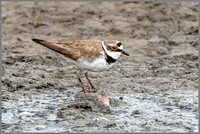 Little Ringed Plover (Charadrius dubius), Upton Warren NR, July 2016