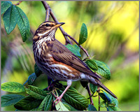 Redwing (Turdus iliacus), Garden, January 2015