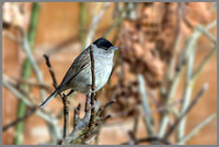 Male Blackcap (Sylvia atricapilla), Garden, January 2015
