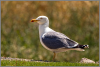 Yellow-legged Gull - Larus michahellis, Mallorca, May 2017