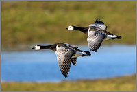Barnacle Geese (Branta leucopsis), Slimbridge WWT, December 2015