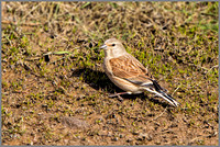Linnet - Carduelis cannabina , Upton Warren NR, April 2017