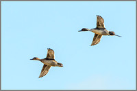 Duck and Drake Northern Pintail (Anas acuta).