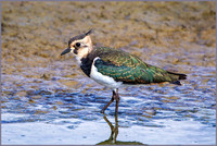 Northern Lapwing (Vanellus vanellus), Upton Warren NR, September 2015