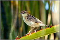 Male Fan-tailed Warbler (Cisticola juncidis), Mallorca, May 2016