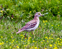 Stone Curlew, Mallorca, May 2010