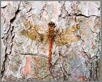 Male Common Darter (Sympetrum striolatum), Chaddesley Wood, October 2013
